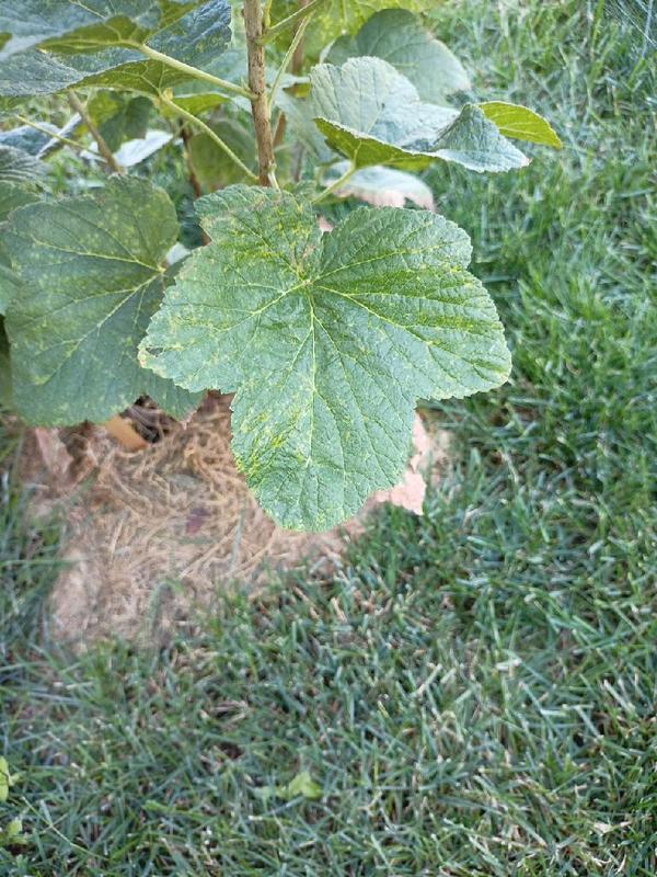 Помогите определить, какая болезнь у смородины? Листья ничем не пахнут.
