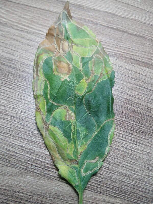 лист вишни с каким-то заболеванием