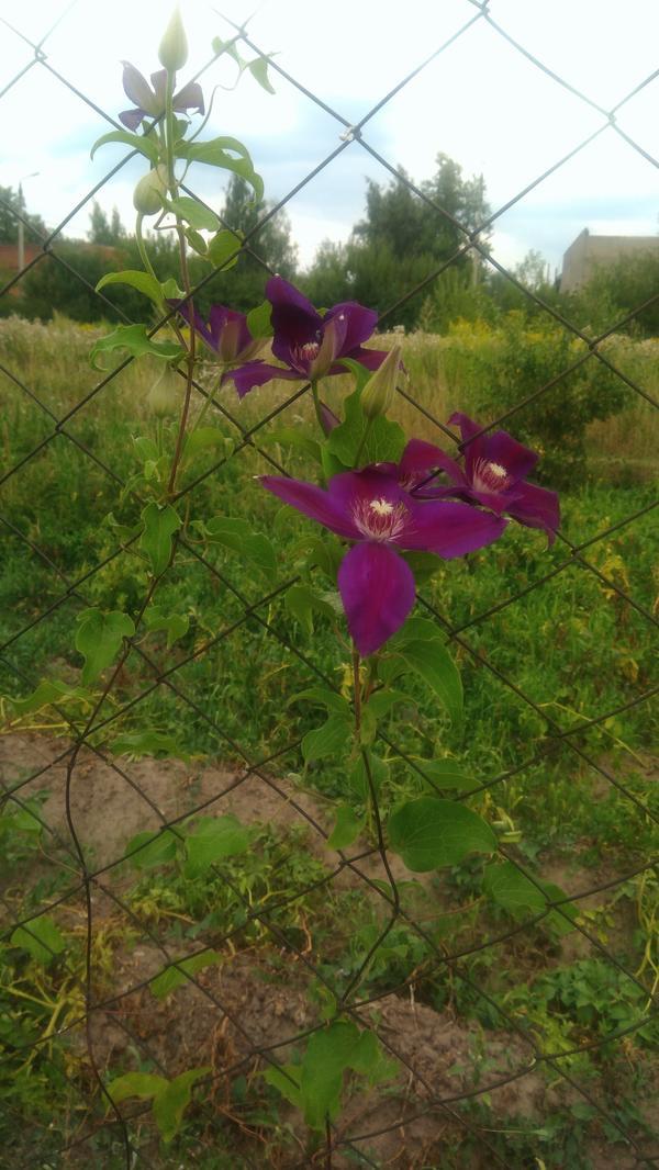 Цветок Климатис