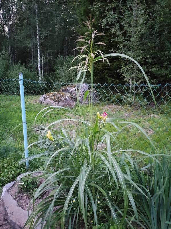 Купила корень лилейника, а там оказался ещё и злак. Он перезимовал и зацвёл, растет быстро