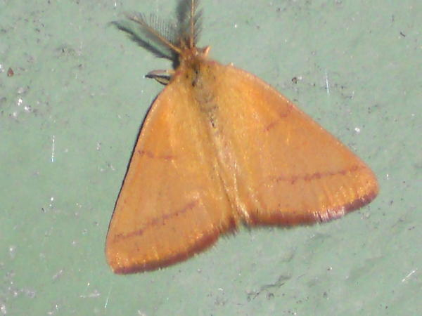 Маленькая бабочка. В данный момент, конец августа, их прям нашествие. Роем (или стаей) летают внизу по траве. Что за вид, подскажите пожалуйста?