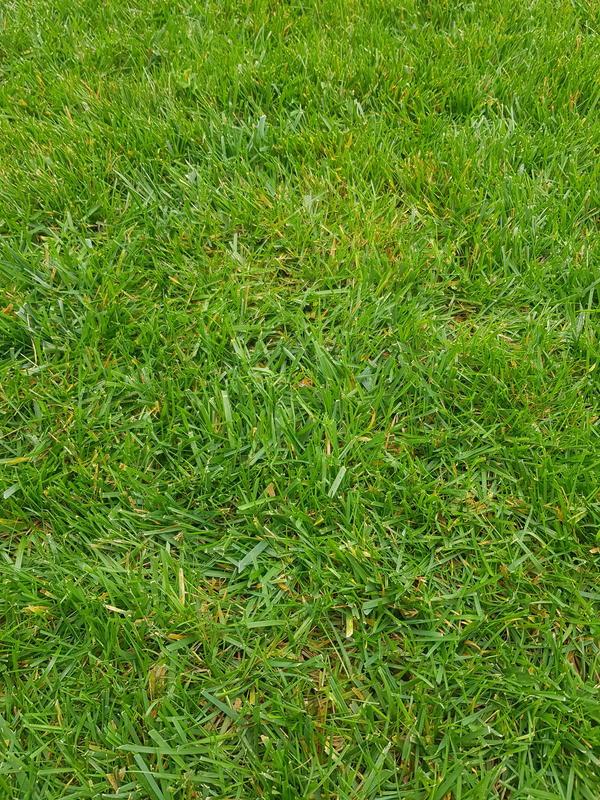 Газонная трава желтеет