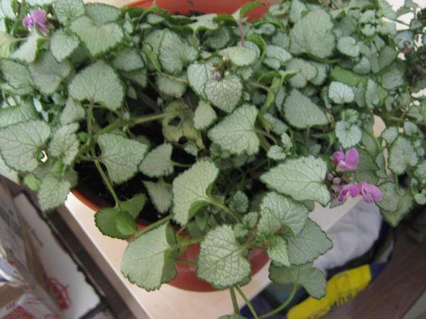 Растение стелющееся, лист сердцевидный формы серебристо зеленого цвета. окаймлен темно зеленой полосой по краю, зубчатый край.