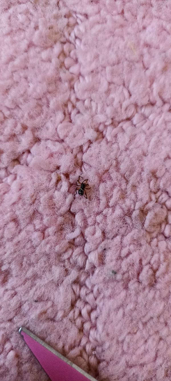 Нашла его дома, маленький, меньше сантиметра. Не в первый раз нахожу дома похожих на этого пауков.