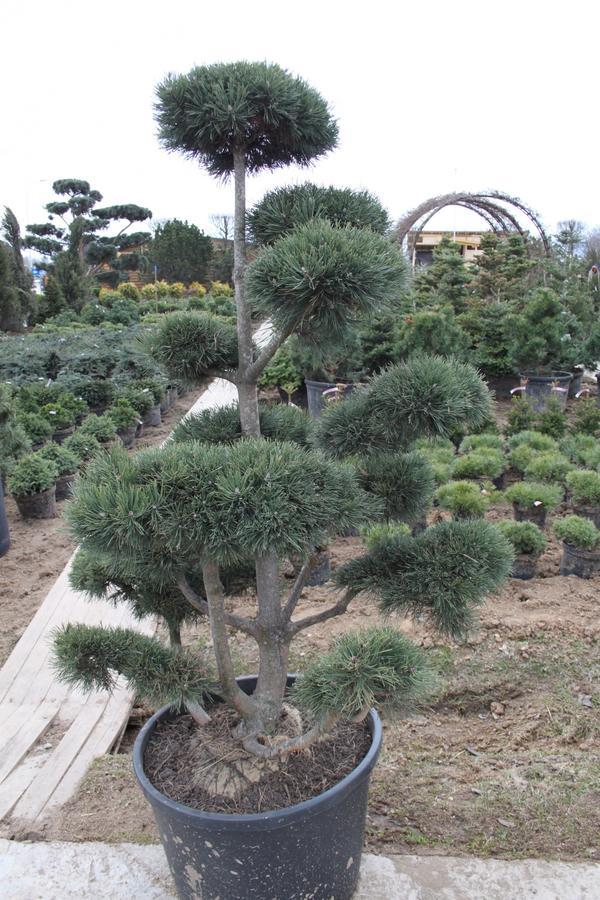 Сосна обыкновенная (бонсай) Pinus sylvestris