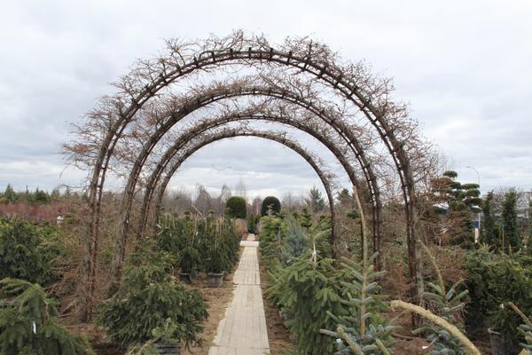 Арка из тонкочешуйчатых лиственниц в садовом центре Imperial garden