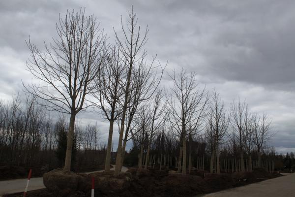 лес из конского каштана в садовом центре Империал Гарден