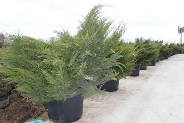 Можжевельник средний Mint Julep Juniperus