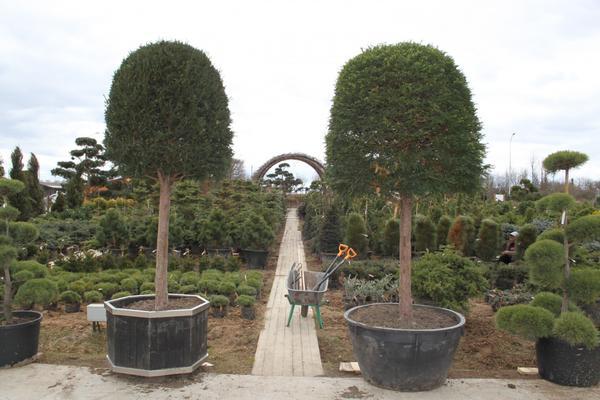 Тисс ягодный формированный Taxus baccata