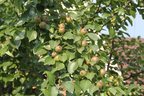 яблоня - 200 кг с дерева