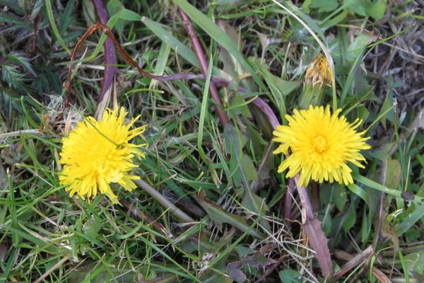 одуванчики цветут в октябре