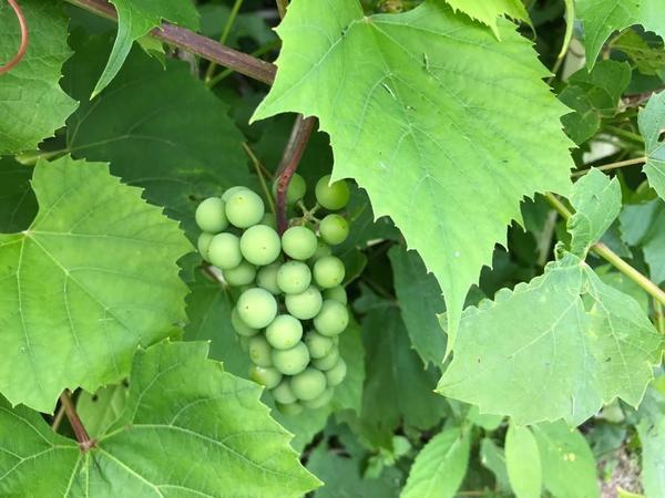 Как вырастить вкусный виноград в Подмосковье