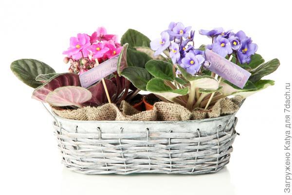 цветные сенполии в подарочной корзинке