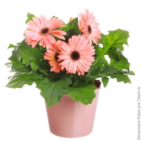 Цветы в горшках комнатные фото