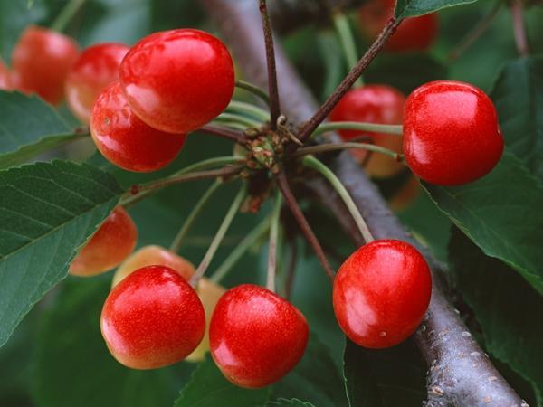 Плоды сакуры, или сакурамбо