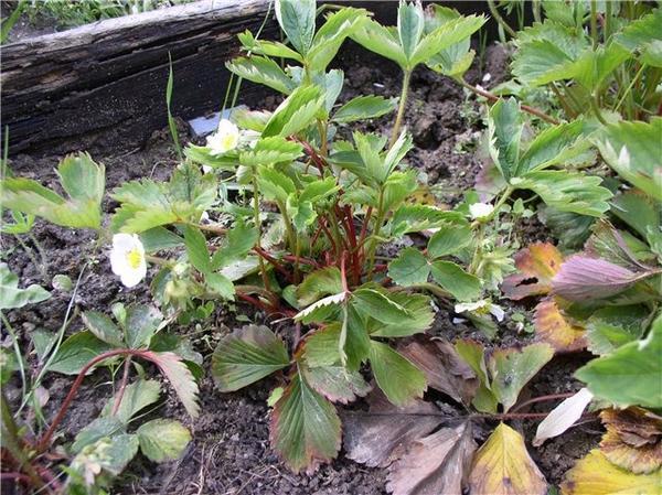 Земляника садовая, пораженная нематодой. Фото с сайта  pizzburg-city.ru