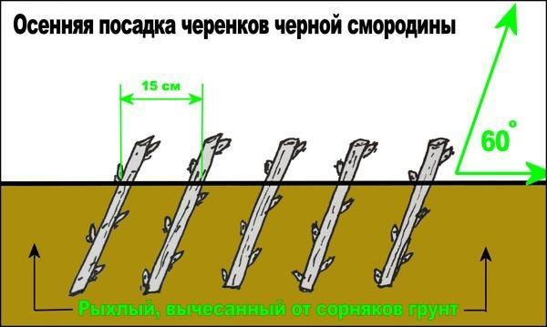 Схема осенней посадки черенков черной смородины. Фото с сайта feedram.club