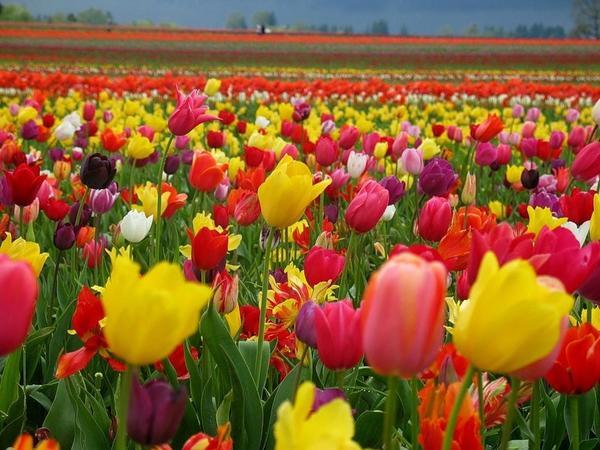тюльпаны фото картинки