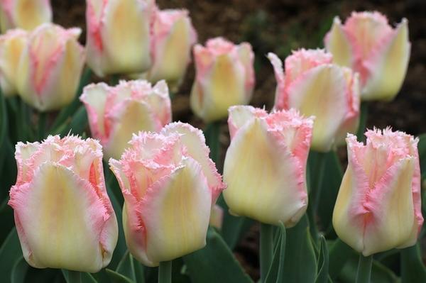 Тюльпан бахромчатый Линжери