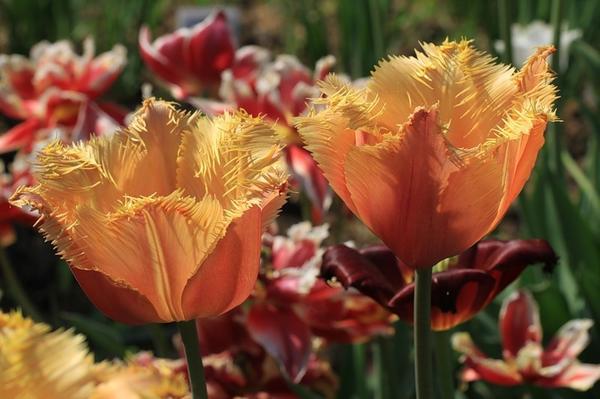 Тюльпан бахромчатый Ламбада