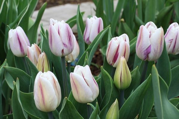 Тюльпаны Флейминг Флаг