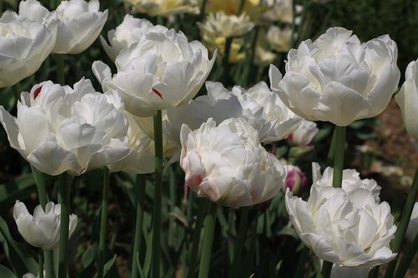 Тюльпан махровый поздний Айс Вондер
