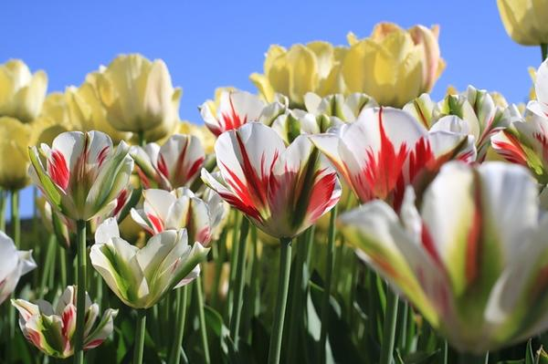 Тюльпан зеленоцветковый Флеминг Спринг Грин