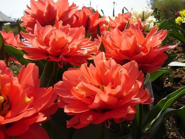 Тюльпан махровый ранний Дабл Торонто