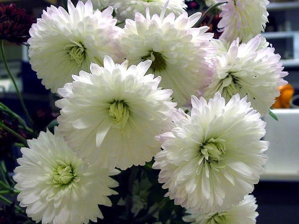 Хризантема Снежок