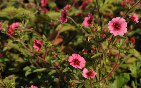 Лапчатка непальская флорис лапчатка