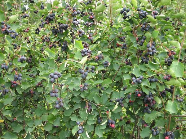 Ирга колосистая в плодах