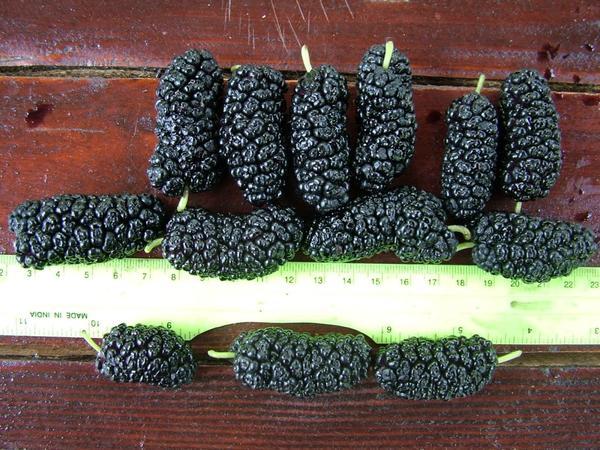 Шелковица черная Шелли 150. Фото с сайта kovalsad.in.ua