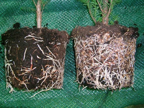 Сравнение растений, не обработанного и обработанного корневином
