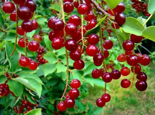 Плоды виргинской черемухи. Фото с сайта ds03.infourok.ru