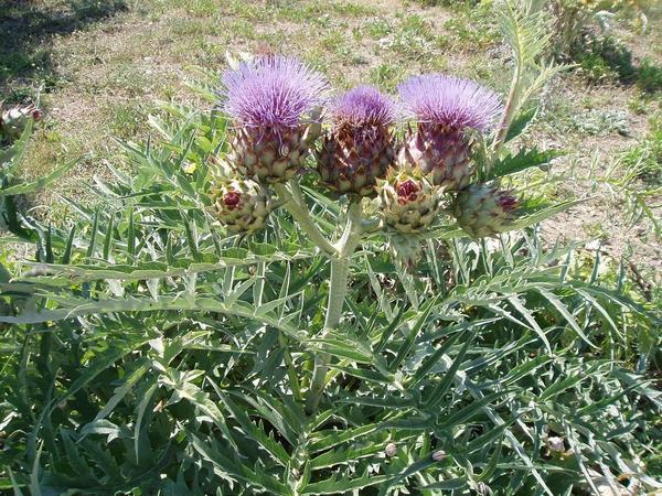 Артишок посевной, настоящий (Cynara scolymus)