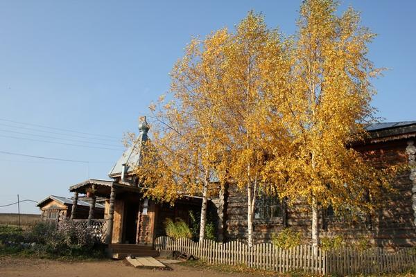 Березы осенью (автор фото 4XEL)