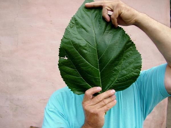 Лист шелковицы