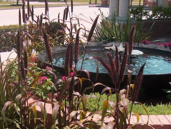 Пеннисетум сизый на фоне пруда