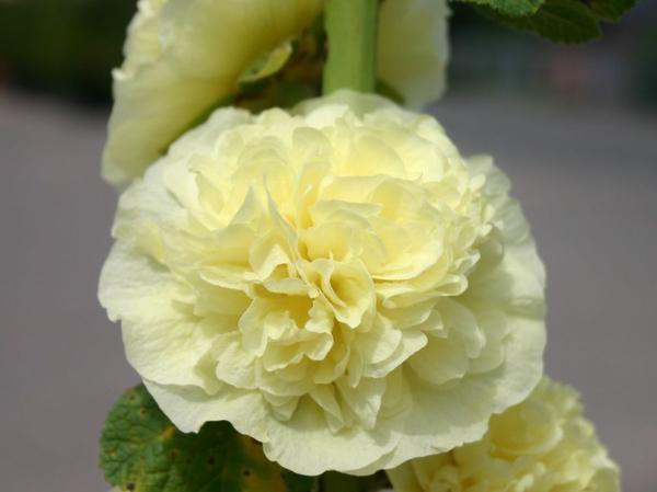 Pleniflora светло-золотистая