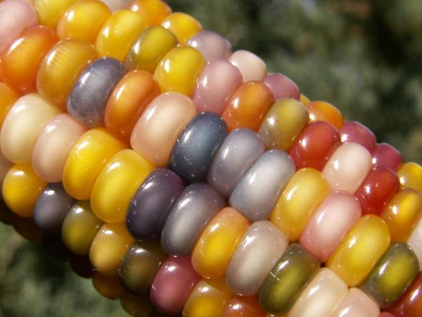 Полупрозрачные зерна кукурузы Glass Gem