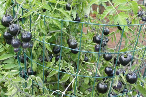 Черный помидор Black Galaxy