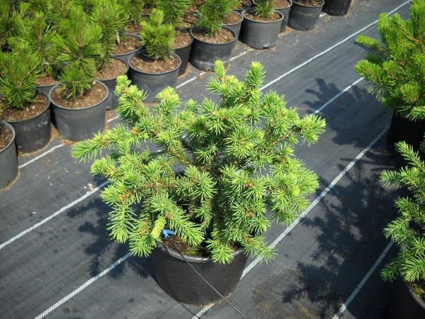 Picea abies Maxwellii