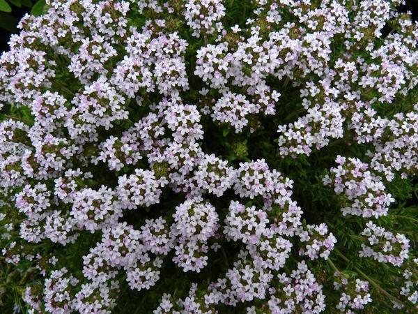 Цветы тимьяна. Фото с просторов интернета