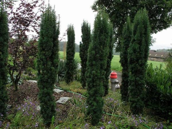 Тис ягодный Fastigiata Robusta. Фото с сайта escapenet.ch