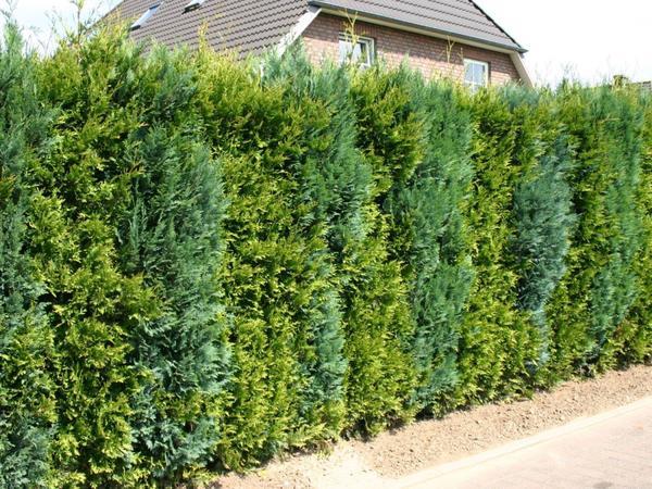 Живая изгородь из туи западной. Фото с сайта www.baumschule-horstmann.de