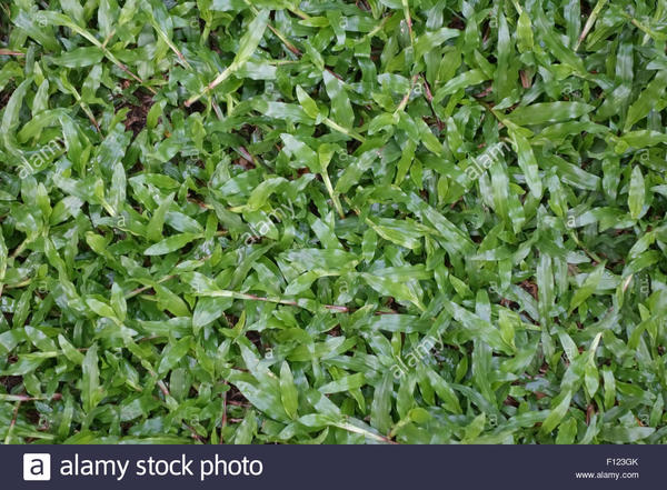 Blanket grass, Axonopus compressus, prostrate plants in a Bangkok lawn, Thailand