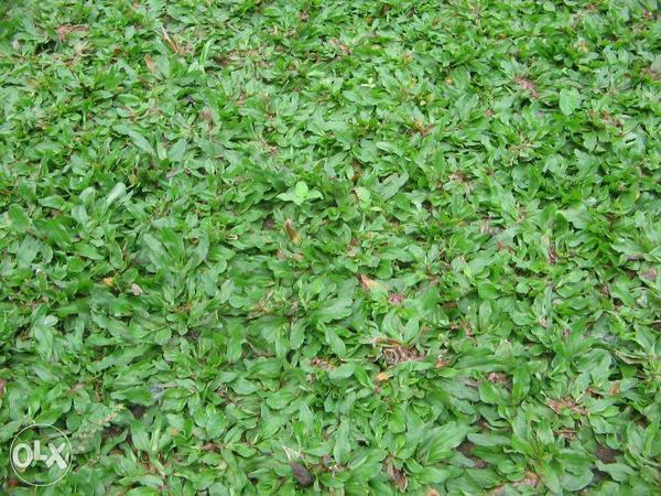 Газон из frog grass