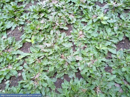 Лягушачья трава