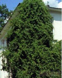 Вертикальное озеленение. Древогубец круглолистный.