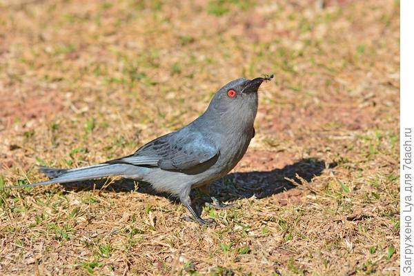 Муравьи - еда для птиц